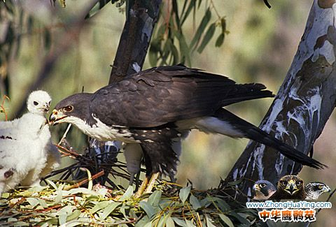 158-Black-Spa-hawk-NEW2.jpg