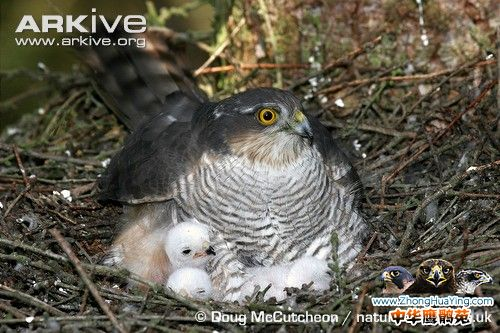 Eurasian-sparrowhawk-female-on-nest-with-chicks.jpg