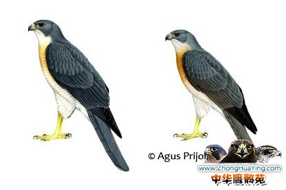 Chinese Sparrowhawk mf.jpg