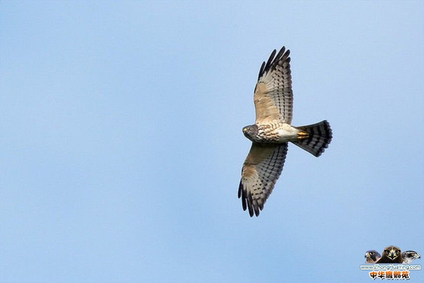 chinese sparrowhawk fly.jpg