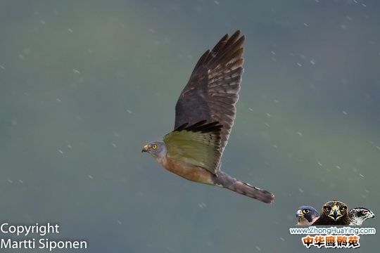 Chinese-Sparrowhawk-f fly.jpg