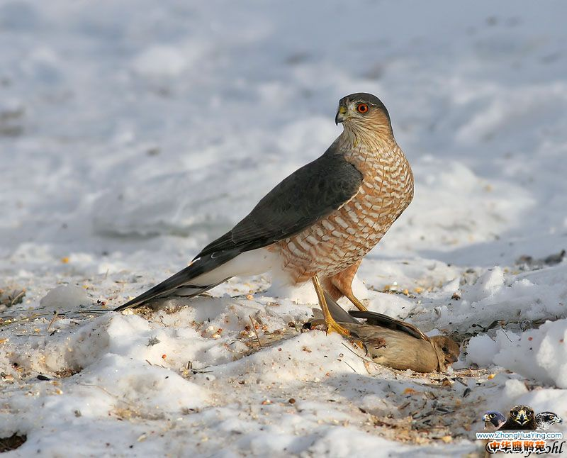 sharp_shinned_hawk_4.jpg