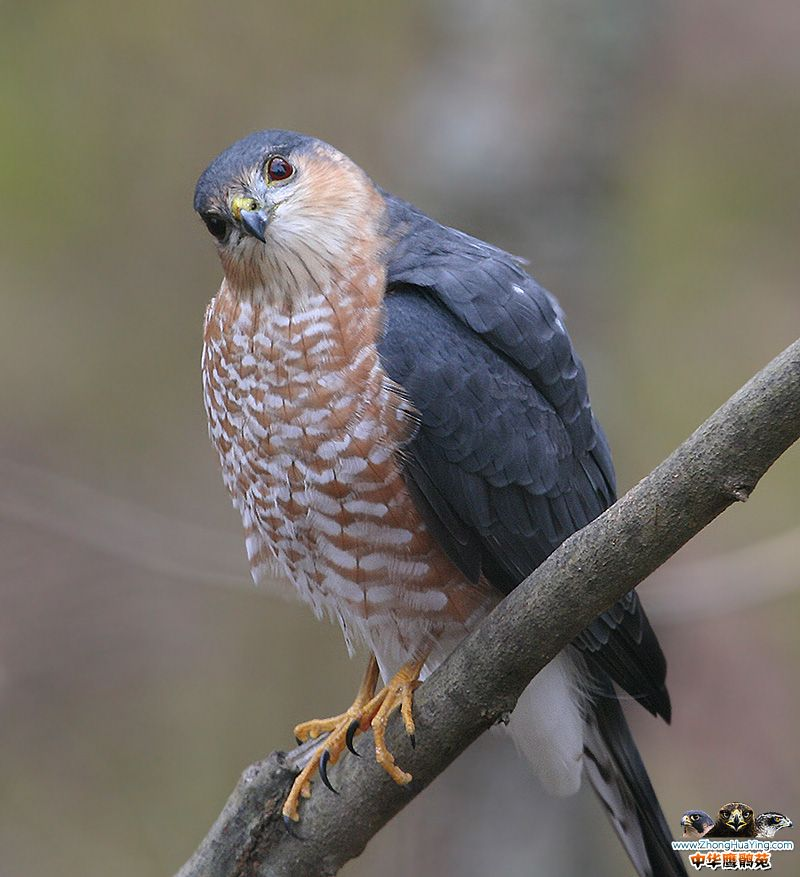 sharp_shinned_hawk_12042006.jpg