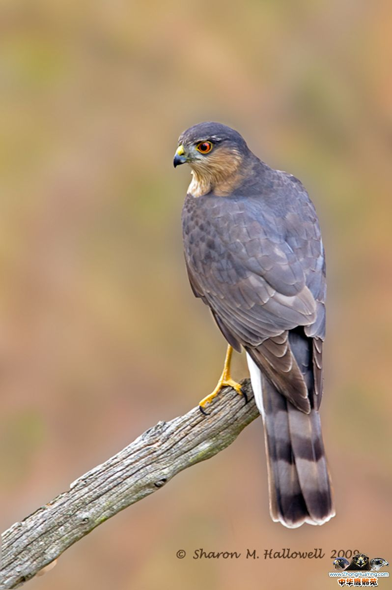sharp-shinned-hawk2.jpg