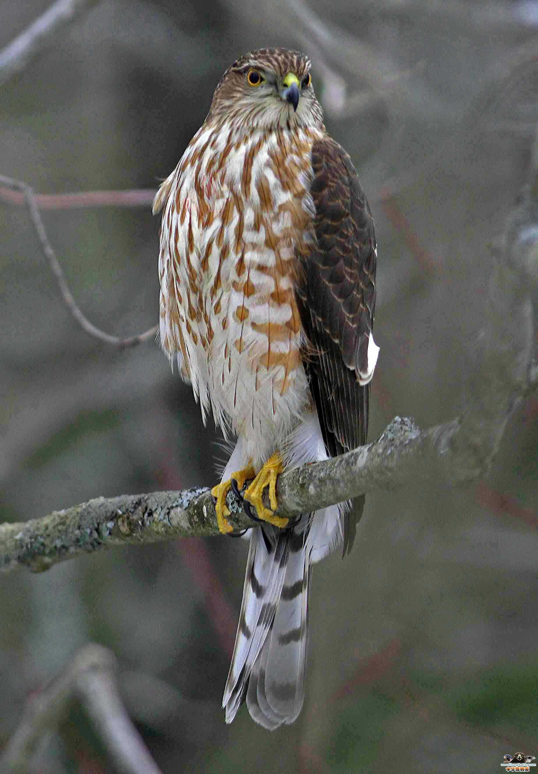 SharpShinnedHawk332.jpg