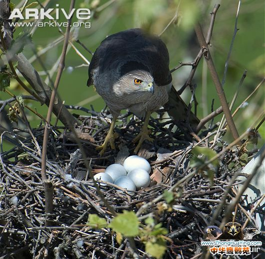 Coopers-hawk-with-eggs-on-the-nest.jpg