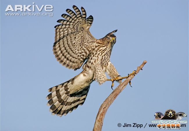Juvenile-Coopers-hawk-landing-on-branch.jpg