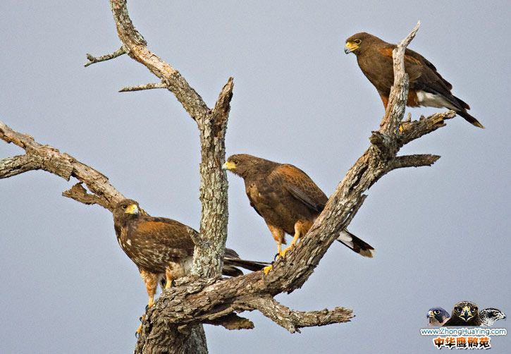 Harris\'s-Hawk-family.jpg