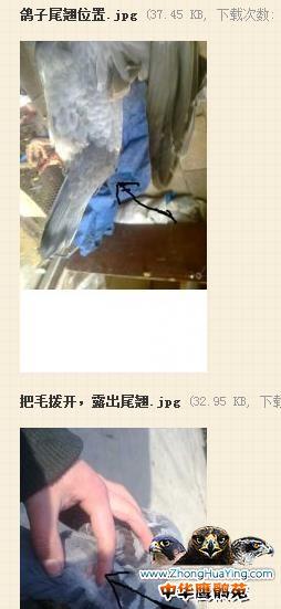 请问鸽子怎么分公和母图片